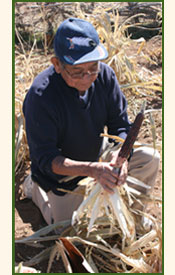 Pueblo man harvesting corn.