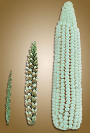 Teosinte, maize, and teosinte-maize hybrid